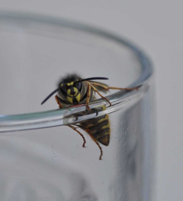 Wasp over a beer glass